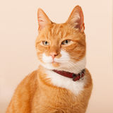 Red cat on beige background Royalty Free Stock Photo