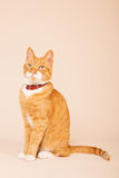 Red cat on beige background Royalty Free Stock Image