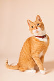 Red cat on beige background Royalty Free Stock Images