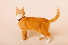 Red cat on beige background Royalty Free Stock Photos