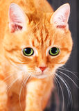 Red cat with big green eyes in studio. Royalty Free Stock Photo