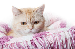 Red cat on a  blanket Royalty Free Stock Image