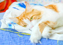 Red cat in bliss Royalty Free Stock Image