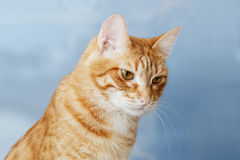 Red cat on a blue sky blurred background Stock Images