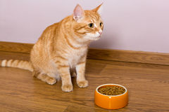 Red cat and bowl of dry food Royalty Free Stock Images