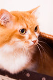 Red cat in box Royalty Free Stock Photography
