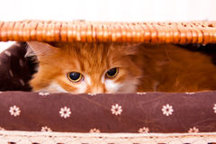 Red cat in box Stock Image