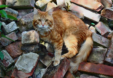Red cat bristling. Red cat standing on a bristling on the rubble bricks royalty free stock images
