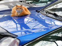 Red cat on the car case Royalty Free Stock Photo