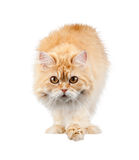 Red cat carefully isolated Stock Photo