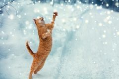 A red cat catches snowflakes. During a snowfall stock image