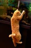 Red cat catching fish. In aquarium Stock Images
