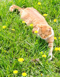 Red cat catching mouse in grass Stock Photos