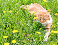 Red cat catching mouse in grass Royalty Free Stock Photos