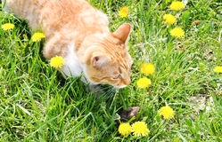 Red cat catching mouse in grass Stock Images