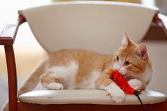 Red cat on a chair with a toy. Royalty Free Stock Images