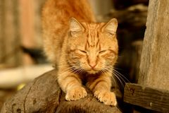 Red cat with a characteristic pattern over the brow part of the head. Pet red cat with a characteristic pattern over the frontal part of the head. Bright stock photography