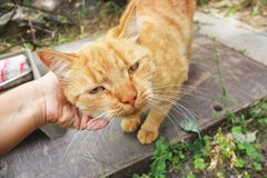 Red cat close up. Hand stroking a cat royalty free stock image