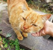 Red cat close up. Hand stroking a cat stock photography