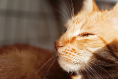 Red cat, close-up portrait of the head, squinted in the sun and Royalty Free Stock Images