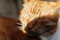 Red cat, close-up portrait of the head, squinted in the sun and Stock Images