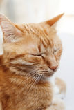 Red cat, close-up portrait of the head, squinted in the sun and Stock Photos
