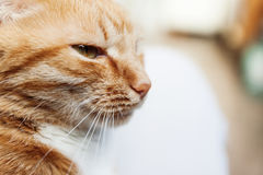 Red cat, close-up portrait of the head, squinted in the sun and Royalty Free Stock Photos