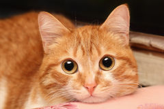 Red cat closeup Royalty Free Stock Photo