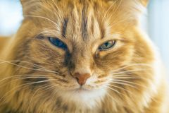 Red Cat Closeup. Portrait of Brown Cat, Red Tabby Male Cat, Ginger Long Hair Cat, The Fluffy Pet, Young Orange Striped Kitty royalty free stock images