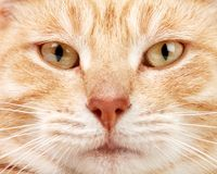 Red cat closeup. Royalty Free Stock Photography