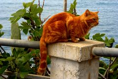 A red cat on the column. Red cat column nature animal pets stock photos
