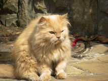 Red cat. Red,dissatisfied cat sitting on stone wall background Royalty Free Stock Image