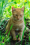 Red cat. The domestic cat is the most common pet. Cats are notable for their beautiful coat, expressive eyes, when the eyes of the cat has a large number of Royalty Free Stock Photography