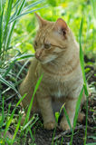 Red cat. The domestic cat is the most common pet. Cats are notable for their beautiful coat, expressive eyes, when the eyes of the cat has a large number of Royalty Free Stock Images