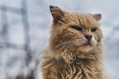 Red cat. The domestic cat is the most common pet. Cats are notable for their beautiful coat, expressive eyes, when the eyes of the cat has a large number of Royalty Free Stock Image