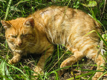 Red cat. The domestic cat is the most common pet. Cats are notable for their beautiful coat, expressive eyes, when the eyes of the cat has a large number of Royalty Free Stock Photo