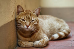 Red cat. Dozed off at rest Stock Photo