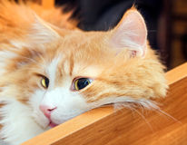 Red cat in drawer Royalty Free Stock Photos