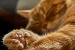 Red hair cat dreamily asleep sleeping lounging, close-up stock photography