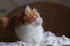 Red cat in dreams. Beauty red white cat in dreams and hope Royalty Free Stock Photography