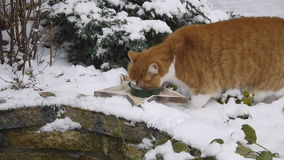 Red cat eating Stock Image