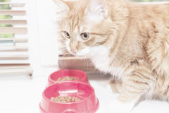 Red cat eats food Royalty Free Stock Photography