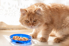 Red cat eats food Royalty Free Stock Photos