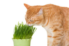 Red cat eats green grass Stock Photo