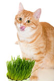 Red cat eats green grass Royalty Free Stock Photo