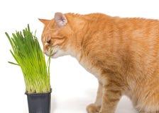 Red cat eats green grass Royalty Free Stock Photos