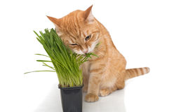 Red cat eats green grass Royalty Free Stock Photography