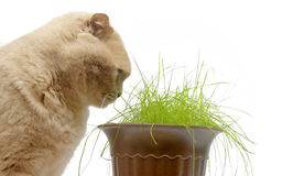 Red cat eats green grass, isolated on white Royalty Free Stock Photos