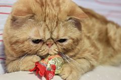 Red cat exotic breed. Playing with candy stock images