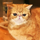 Red cat exotic shorthair Royalty Free Stock Image